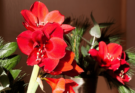Red amaryllis in bloom