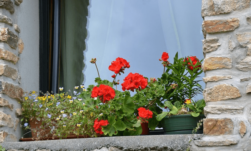 Potted geraniums and other flowering plants on a window sill