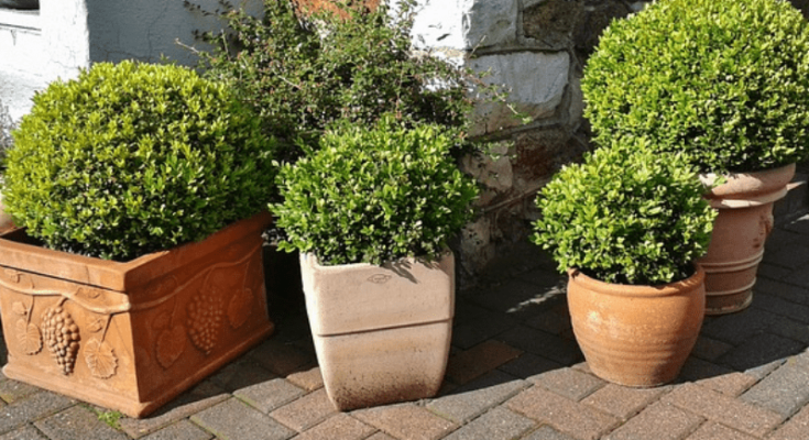 Potted evergreens in Clay pots of different shapes and sizes