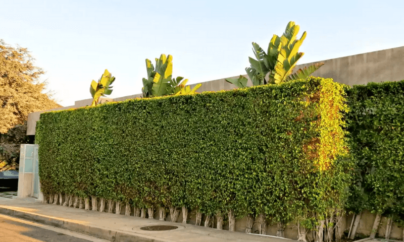 Box-shaped privacy hedge