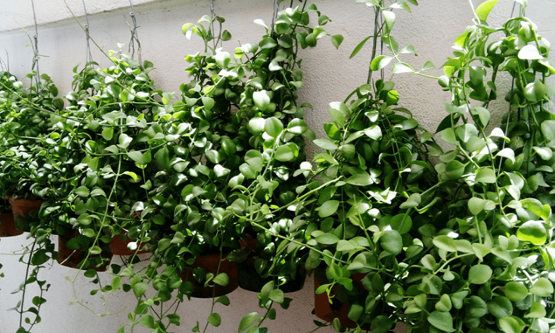Trailing plants in hanging planters.
