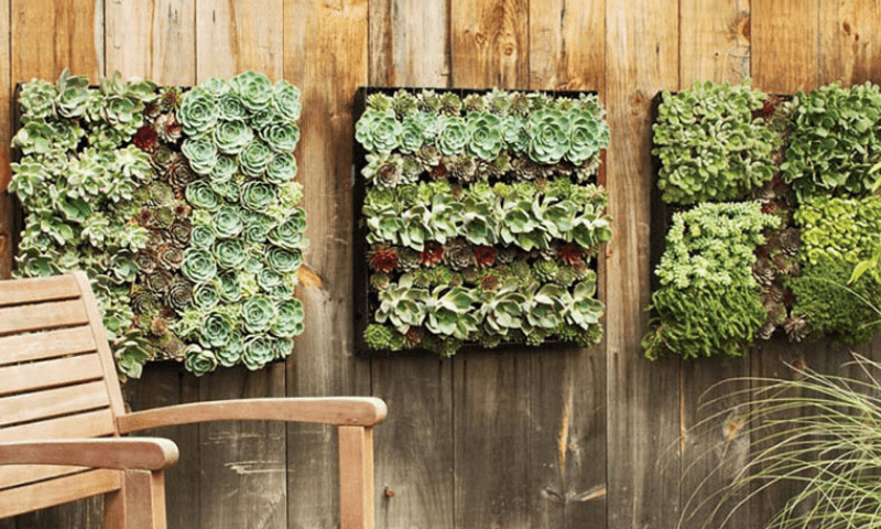 Boxed succulents on a wooden wall.