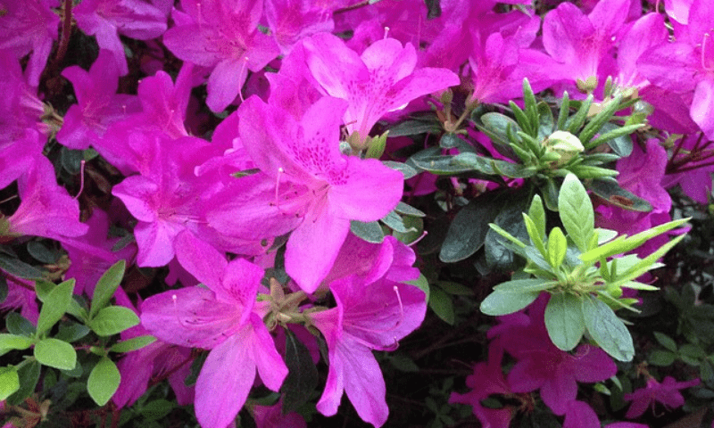 Azalea with pink blossoms.