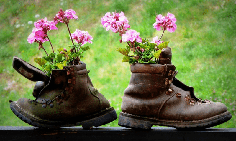 Pink geraniums growing in alpine boots