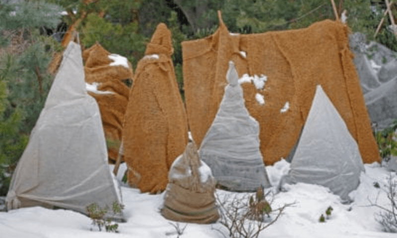 Young evergreen trees covered with burlap
