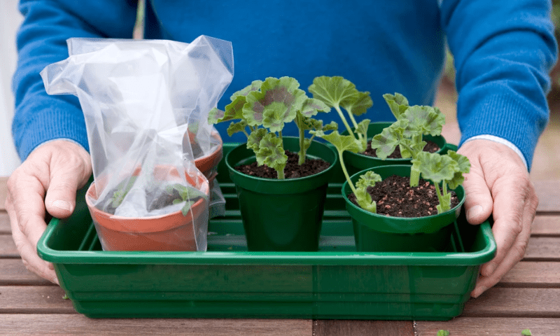 Three potted geraniums and mini-greenhouses on a green plastic tray