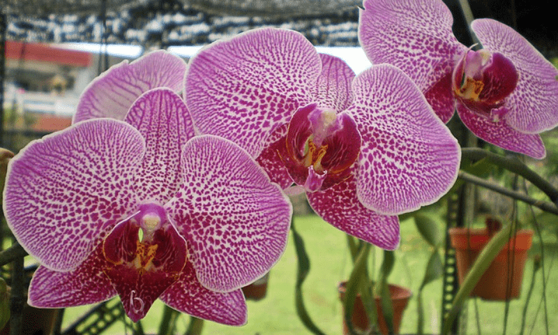 Three flowers of moth orchid