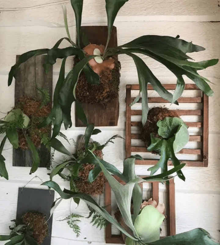 Display of staghorn ferns on the log planters