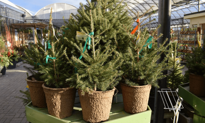 Potted evergreen living Christmas trees.