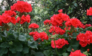 Red geraniums in blooms