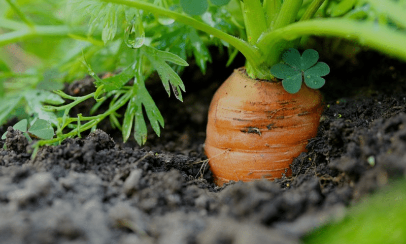 Carrot plant in a container garden