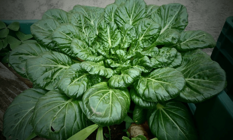 Orchard spinach in a pot during winter