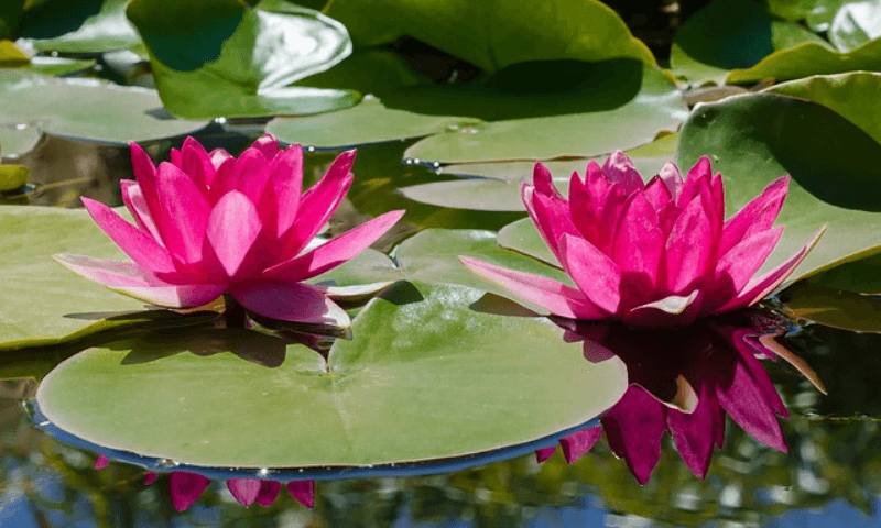 Pink water lilies.