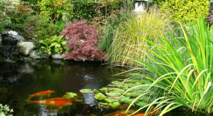 A koi pond with purple flowers and lillies