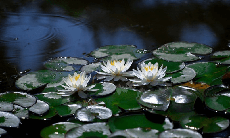 Blooming white lilies in a pond
