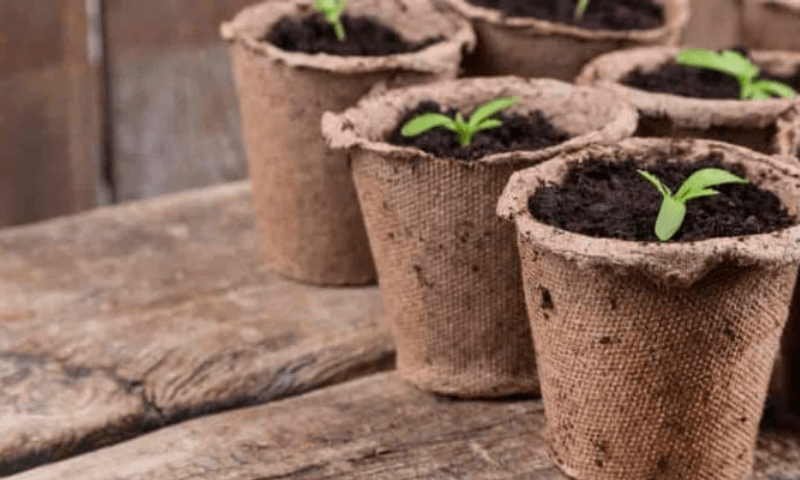 Newly germinated seedlings in recyclable peat moss starter pots