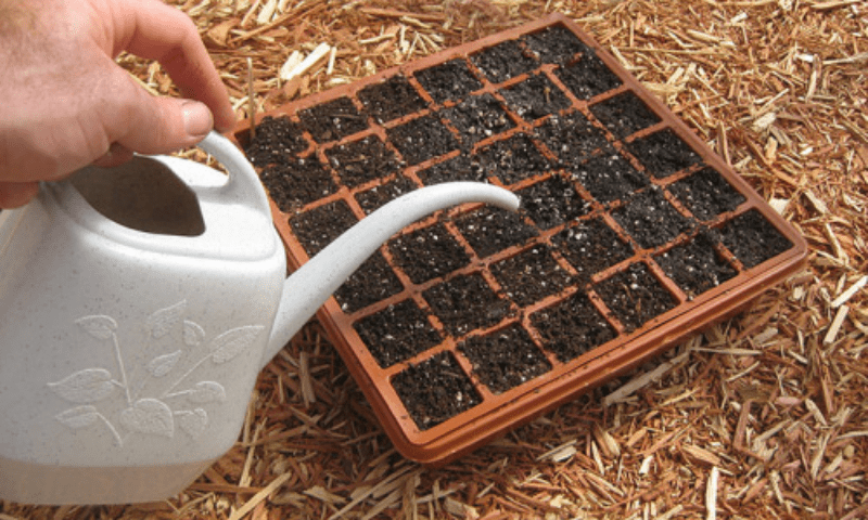 Watering a seed starter tray using a white plastic watering can.