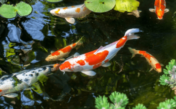 Koi pond garden with aquatic plants