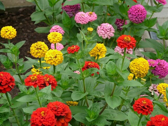 Colorful blooms of zinnia.