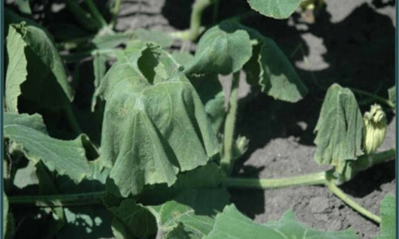 Wilting cucurbit leaves due to bacterial wilt.