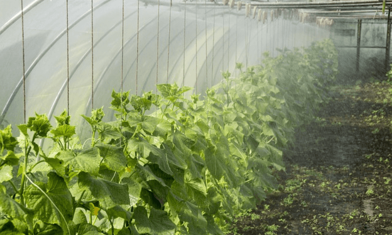 Watering cucumber plants inside a greenhouse