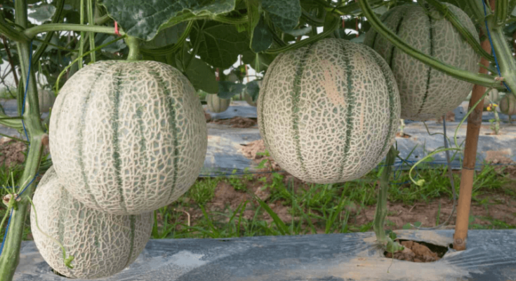 Cantaloupe plant growing vertically with four hanging large fruits.