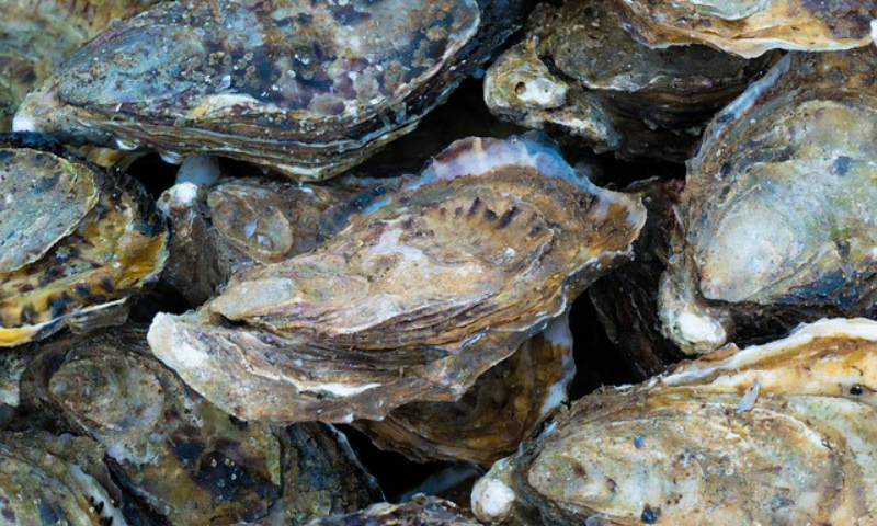 A cluster of oyster shells