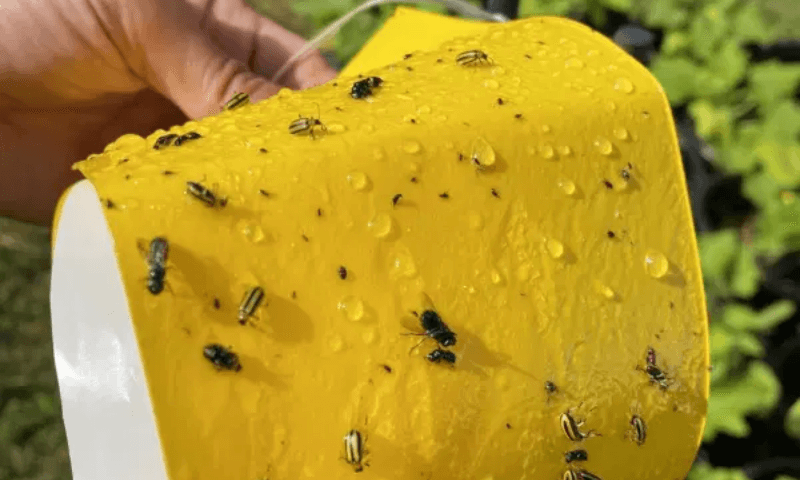 Cucumber beetles and other insects trapped in a garden's yellow sticky pad.