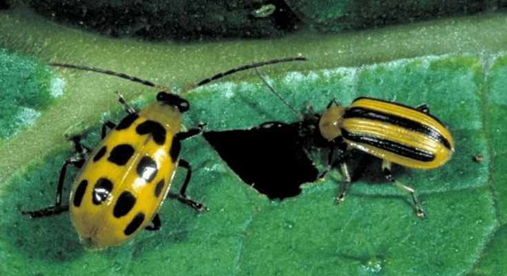 Both the spotted and striped cucumber beetles are feeding on the plant's leaf.