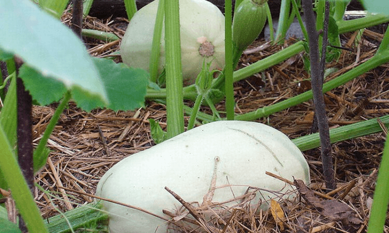 Melon plants with fruits in a straw mulched garden.