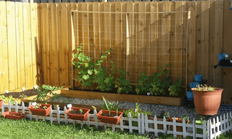 A framed string trellis on a wooden fence supporting cucumber plants