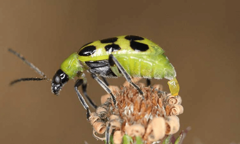 Spotted cucumber beetles laying an egg on a dried flower.