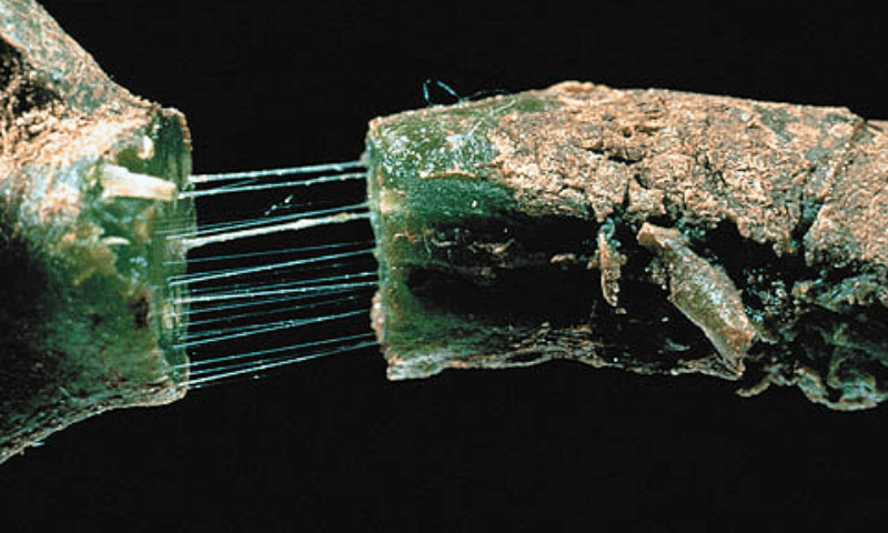 A stringy sap in the stem caused by bacterial wilt
