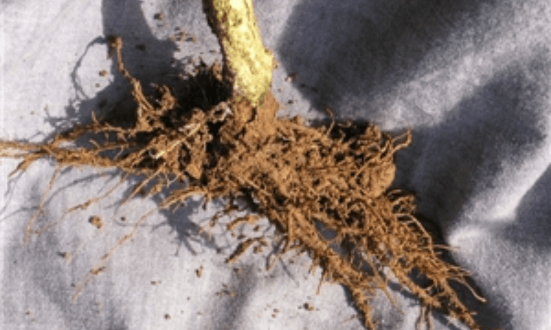 Bacterial wilt disease causing the roots of a bell pepper plant to rot.