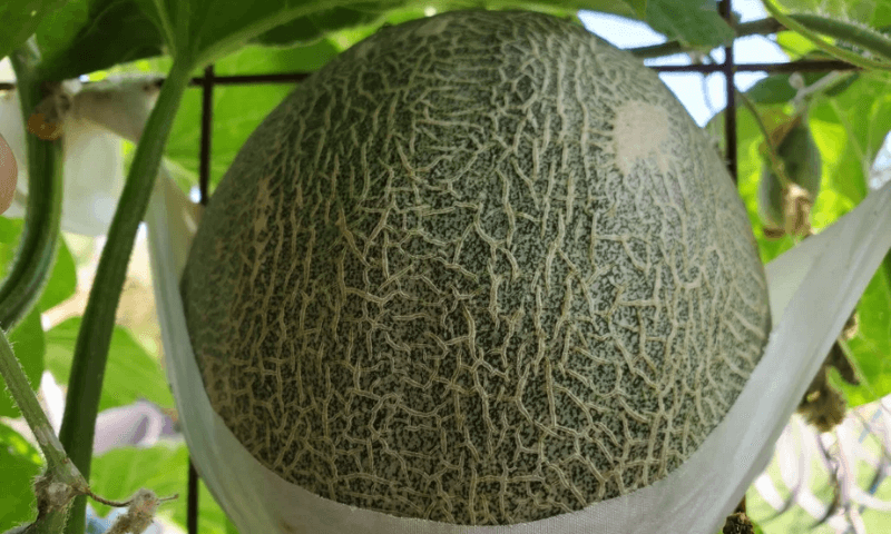 A soft fabric sling supporting cantaloupe fruit