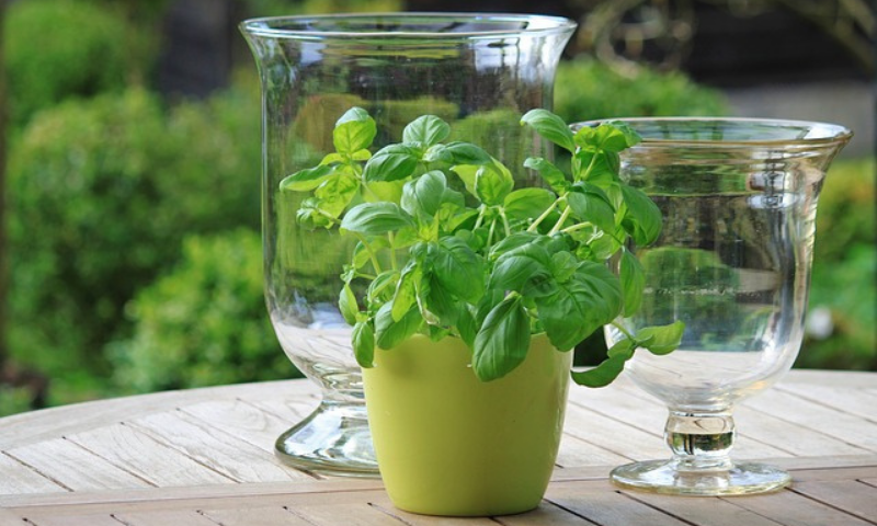 A potted basil plant and two other crystal vases on the top of a foldable garden table.