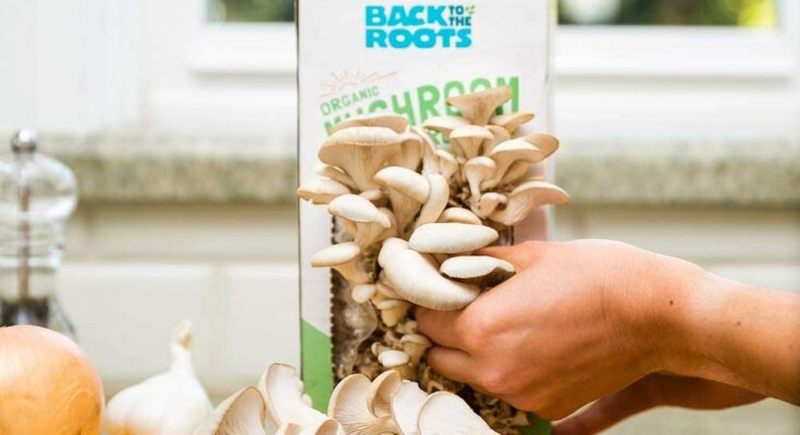 Back to the Roots Mushroom Growing Kit that is Ready to be Harvested